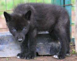 black timber wolf pup - Google Search