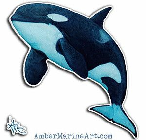 """Vinyl Sticker ••• Watercolor art of southern resident killer whale J2 """"Granny"""" by Amber Marine • (Printed on a square sheet with various size options, up to 14""""x14""""!) ••• AmberMarineArt.com © •••"""