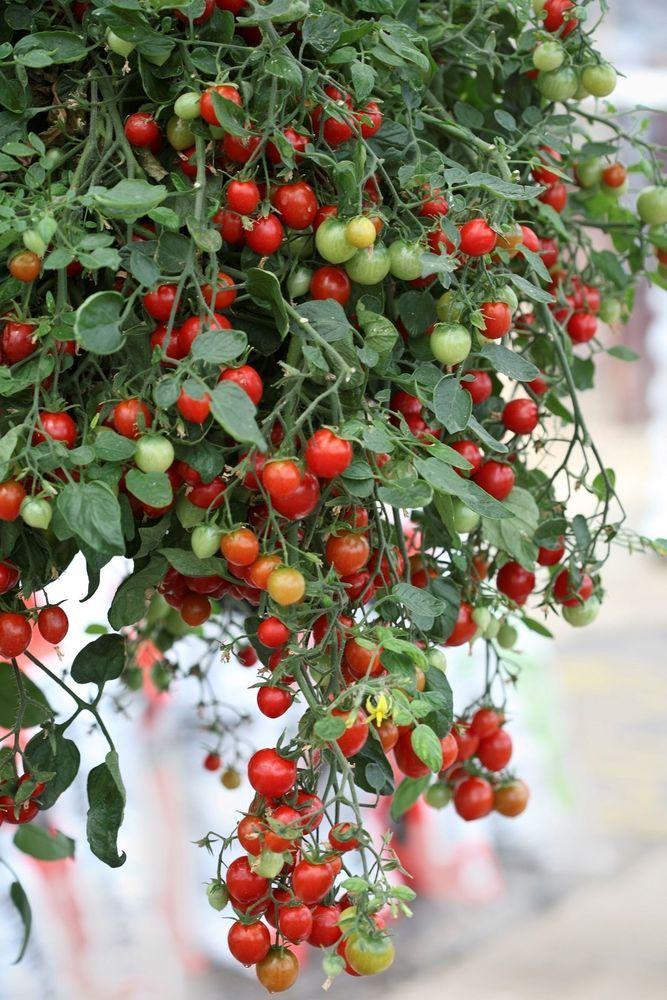 120 Tomato Cherry Falls Vegetable Live Plants Plugs Home 640 x 480