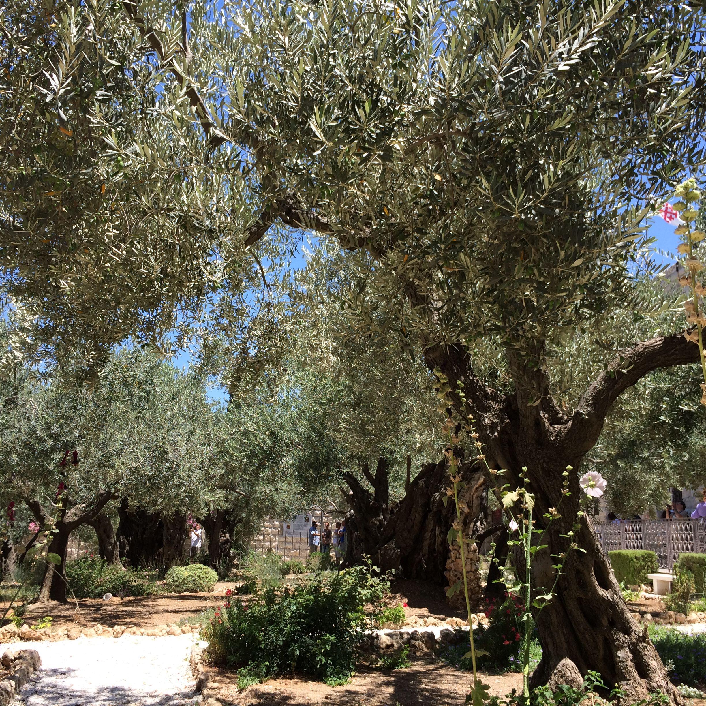 Olive Trees Garden Of Gethsemane Olive Tree Garden Of Gethsemane Tree