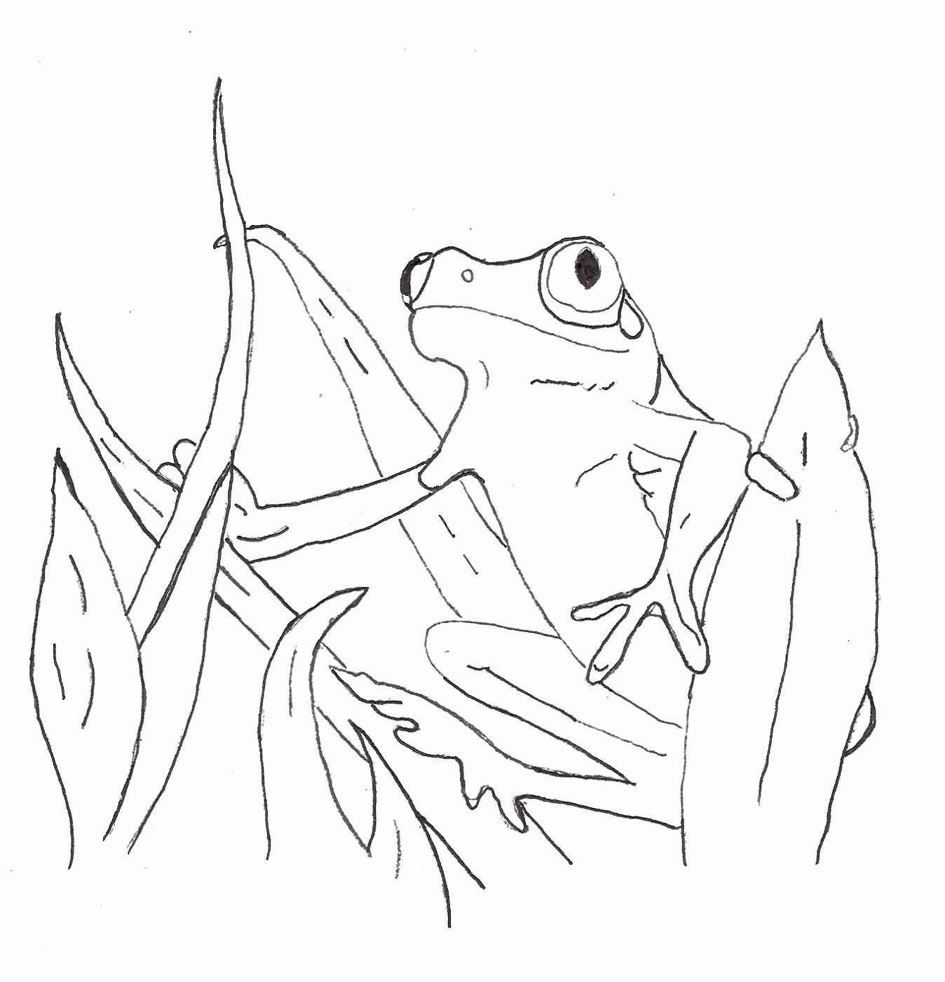Coloring Page Tree Frog Unique Red Eyed Tree Frog Outline Coloring