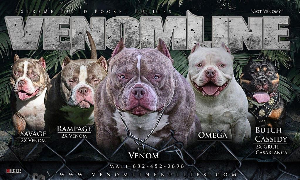 Pin By Eddie88 On American Bully Micro Pocket Classic Standard Xl Xxl Bully Dog Bully Breeds Dogs Dogs