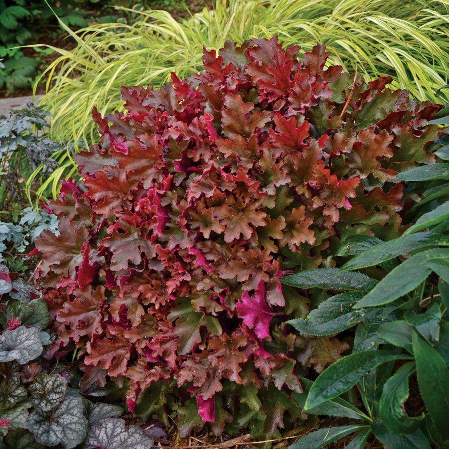 Heuchera Dolce® Cinnamon Curls™ | Heuchera, Gardens and Garden ideas