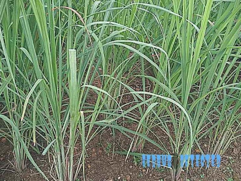 lemongrass in nature   help   Bed bugs, Essential oils, Bugs