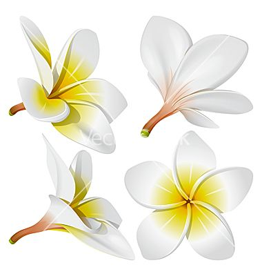 Frangipani Flowers Vector Image On Vectorstock Flower Drawing Flower Clipart Vector Flowers