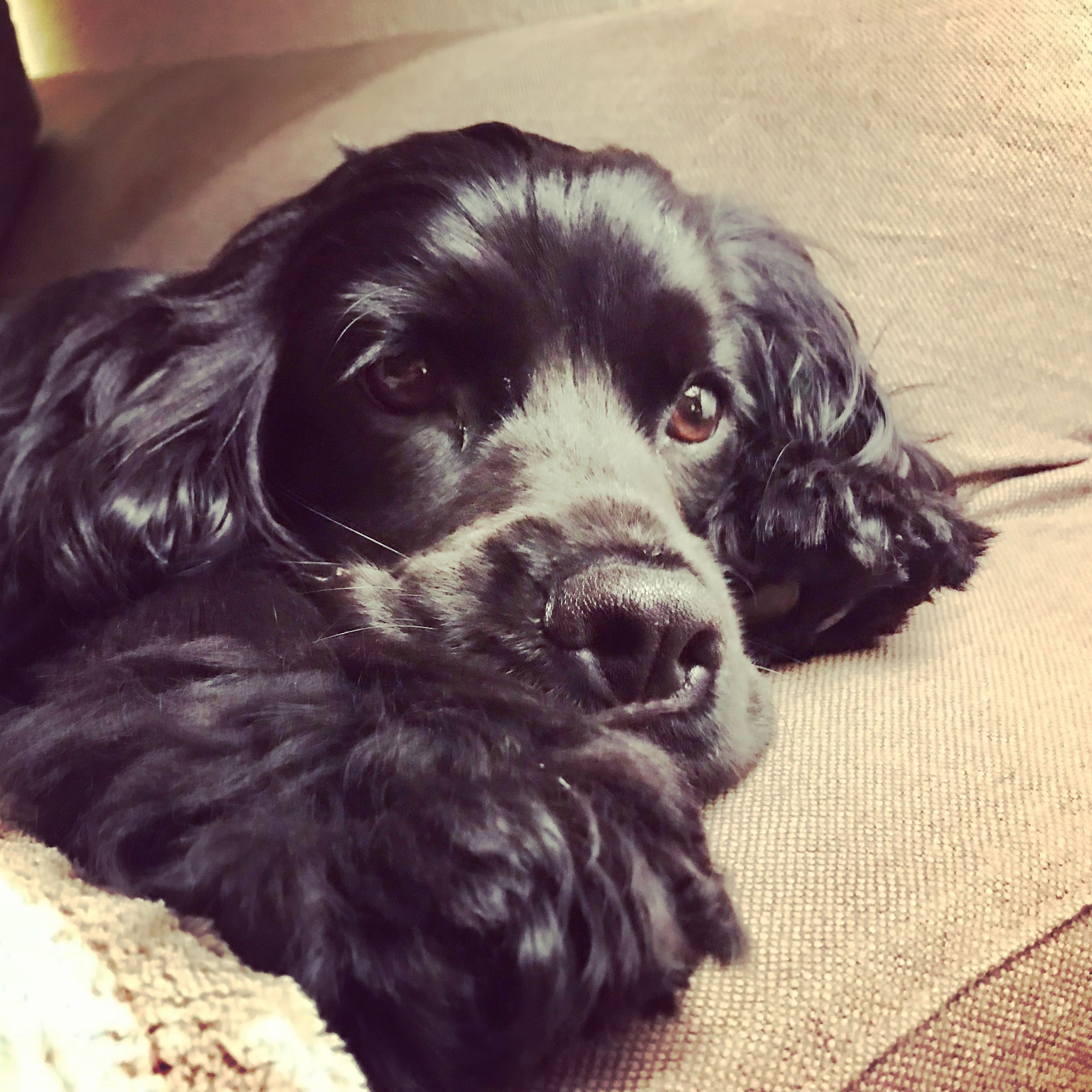 Sweet Margot Spaniel Puppies Dogs Puppies Black Cocker