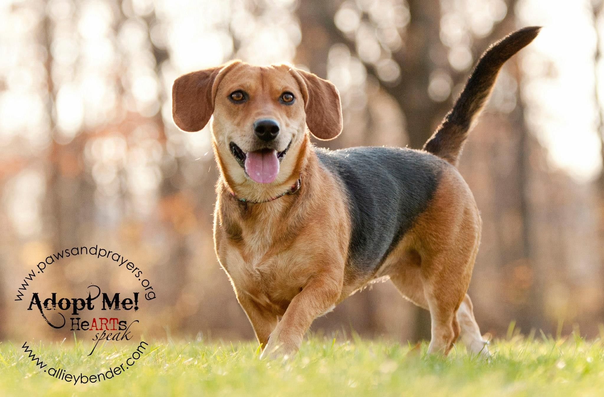 Jenny Is A Beagle Dachshund Mix About 1 1 2 Years Old She S Located In Ohio And Hoping To Find A Forever Home With A Fenced I Dachshund Mix Dogs Save Animals