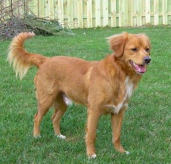 This Is My Future Dog I Love Nova Scotia Duck Tollers Nova