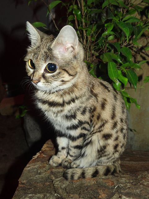 Black-footed cat   Small wild cats, Black footed cat, African cats