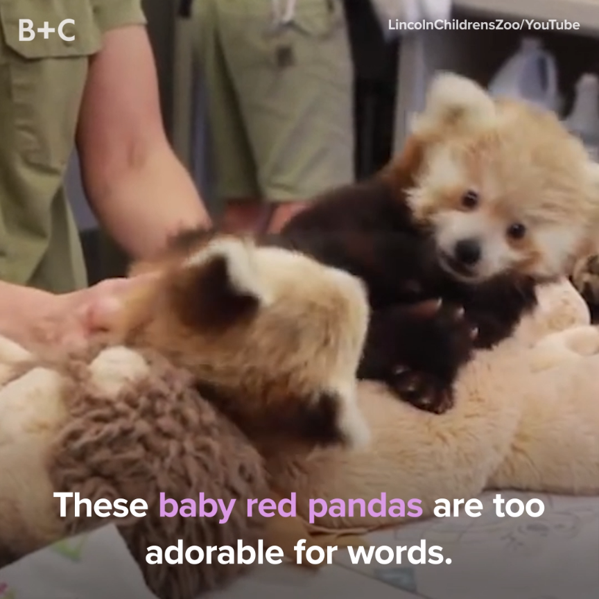 Photo of Proof That Baby Red Pandas Are Too Cute to Handle
