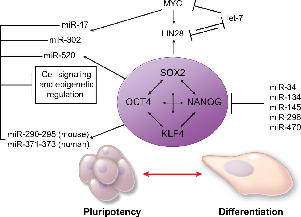 Characterization of cell cycle phase based micrornas in characterization of cell cycle phase based micrornas in pluripotency and differentiation nvjuhfo Image collections