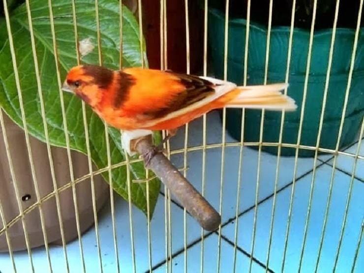 Mewaspadai Jika Burung Kenari Lemas Dan Cara Penanganannya Burung Hewan Kenari