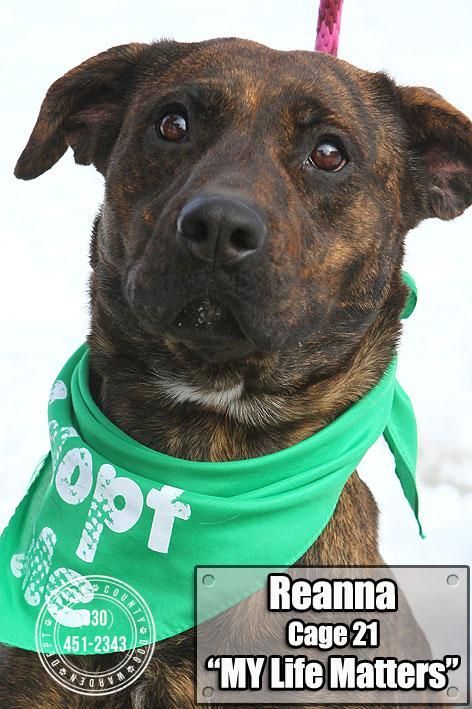 REANNE...FOUND IN CANTON, OHIO...NOW ADOPTABLE!!! Meet 21  Reanne, a Petfinder adoptable Plott Hound Dog   Canton, OH   Picked up as a stray on 2/6.  Available on 2/10.  Reanne was pretty frightened at first, didn't...