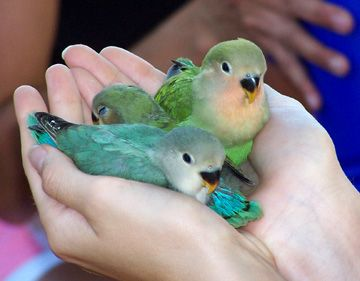 lovebirds are definitely my favorites, these babies are adorable!