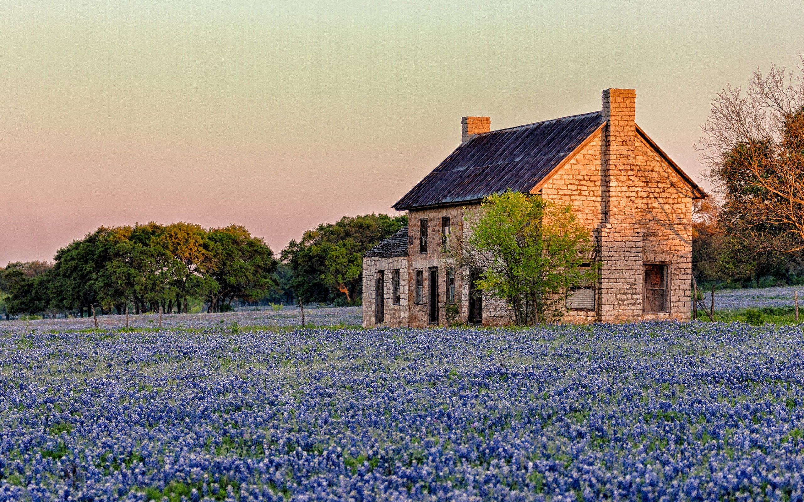 Texas sunlight blue flowers Bluebonnet hd wallpaper Lg pic