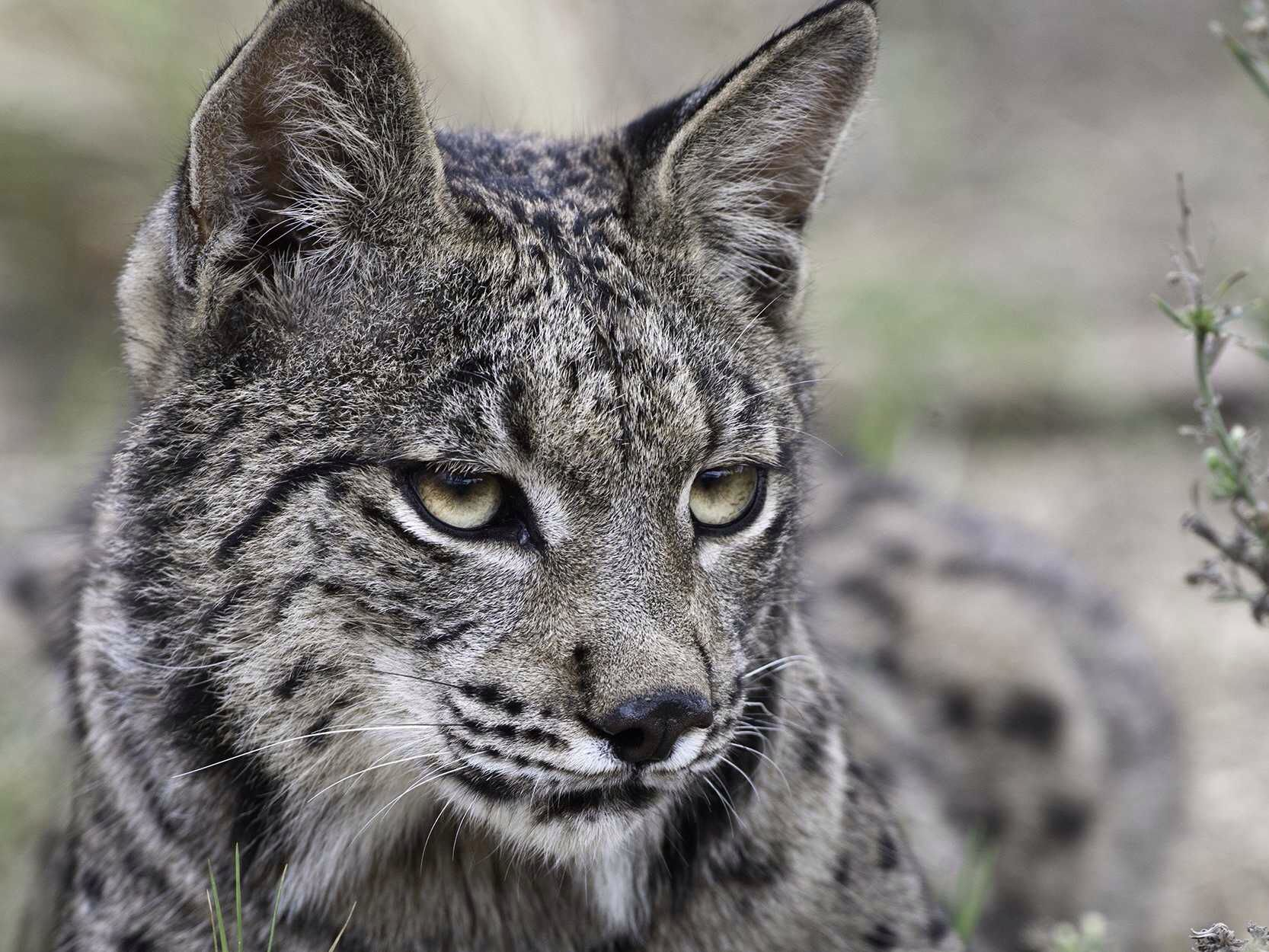 Iberian Lynx.....nearly extinct Iberian lynx, Big