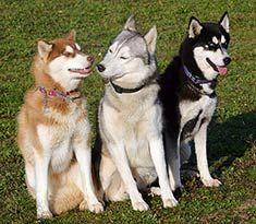 Siberian Husky Siberian Husky Siberian Husky Dog Husky Dogs