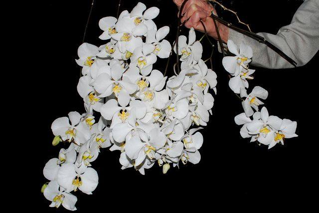Phalaenopsis Amabilis Cutted Spikes Beautiful Flowers Orchids