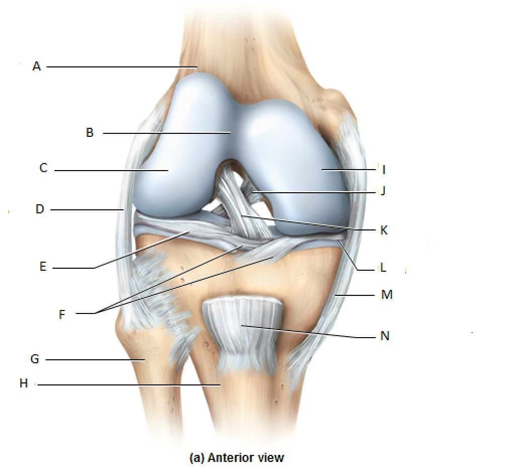 knee joints blank yoga anatomy sports medicine medical shoulder joint blank diagram blank joint diagram [ 1024 x 938 Pixel ]