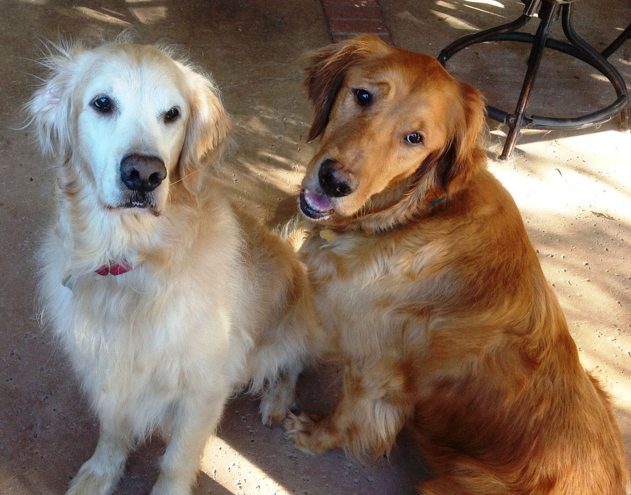 Hank and Leo Adopted Golden retriever, Golden