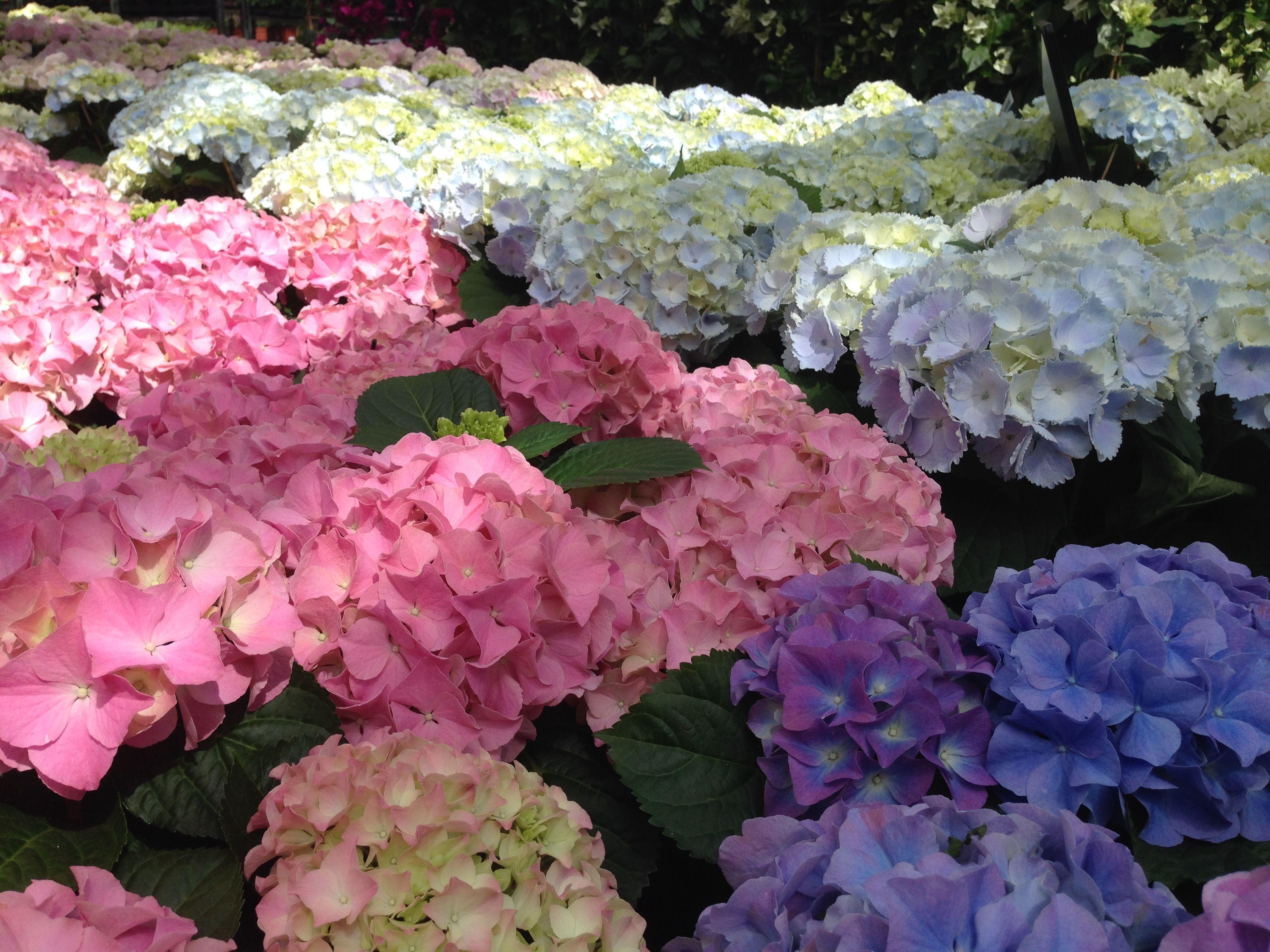 Hortensien sind wahre Hingucker im Garten Es gibt sie in zahlreichen