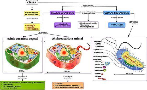Estructuras Celulares Eucariotas Y Procariotas Estructura