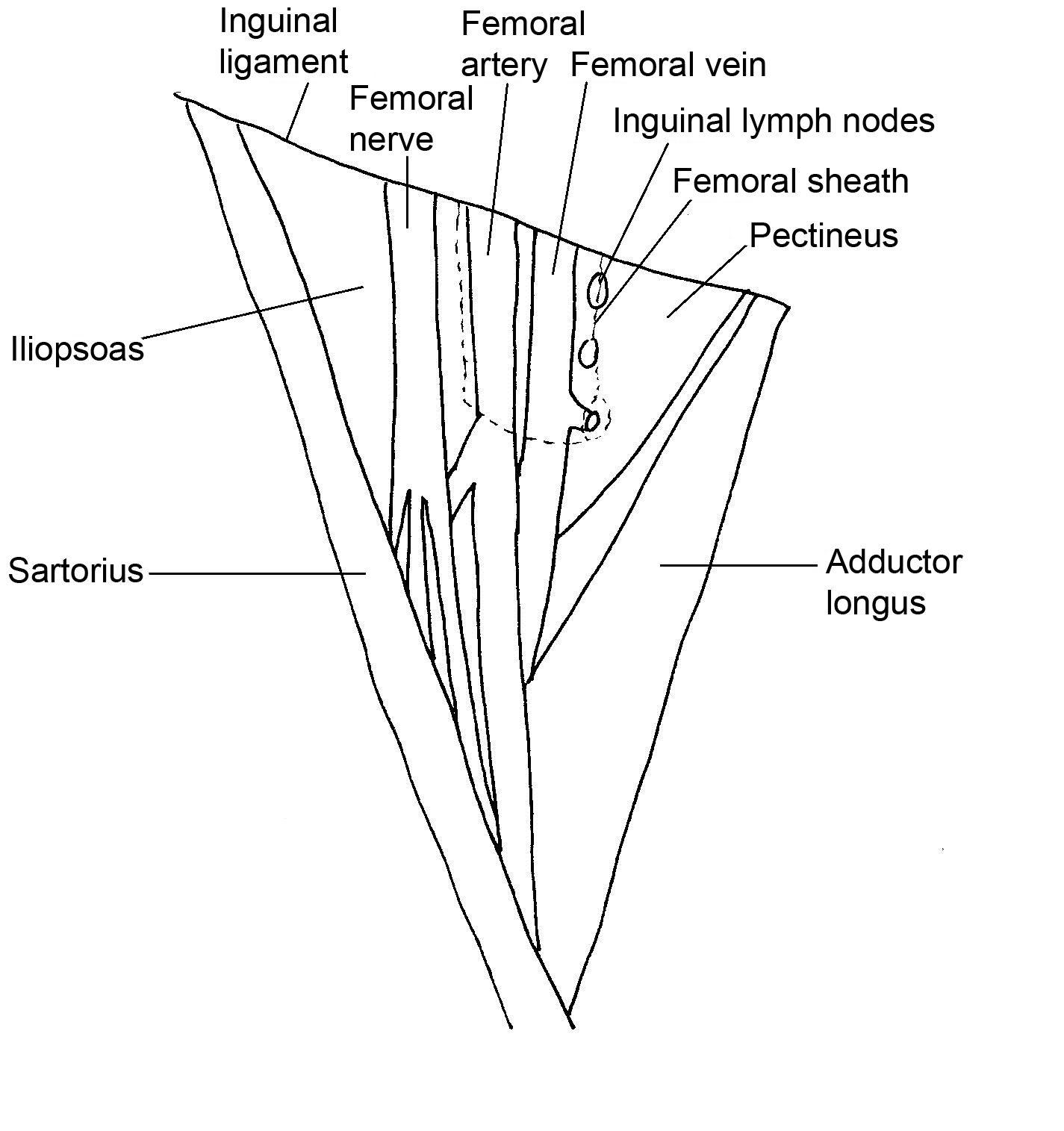Contemporáneo Applied Anatomy Of Femoral Triangle Foto - Anatomía de ...
