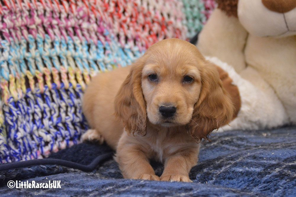 Golden Cocker Puppies For Sale In Lincolnshire UK Free