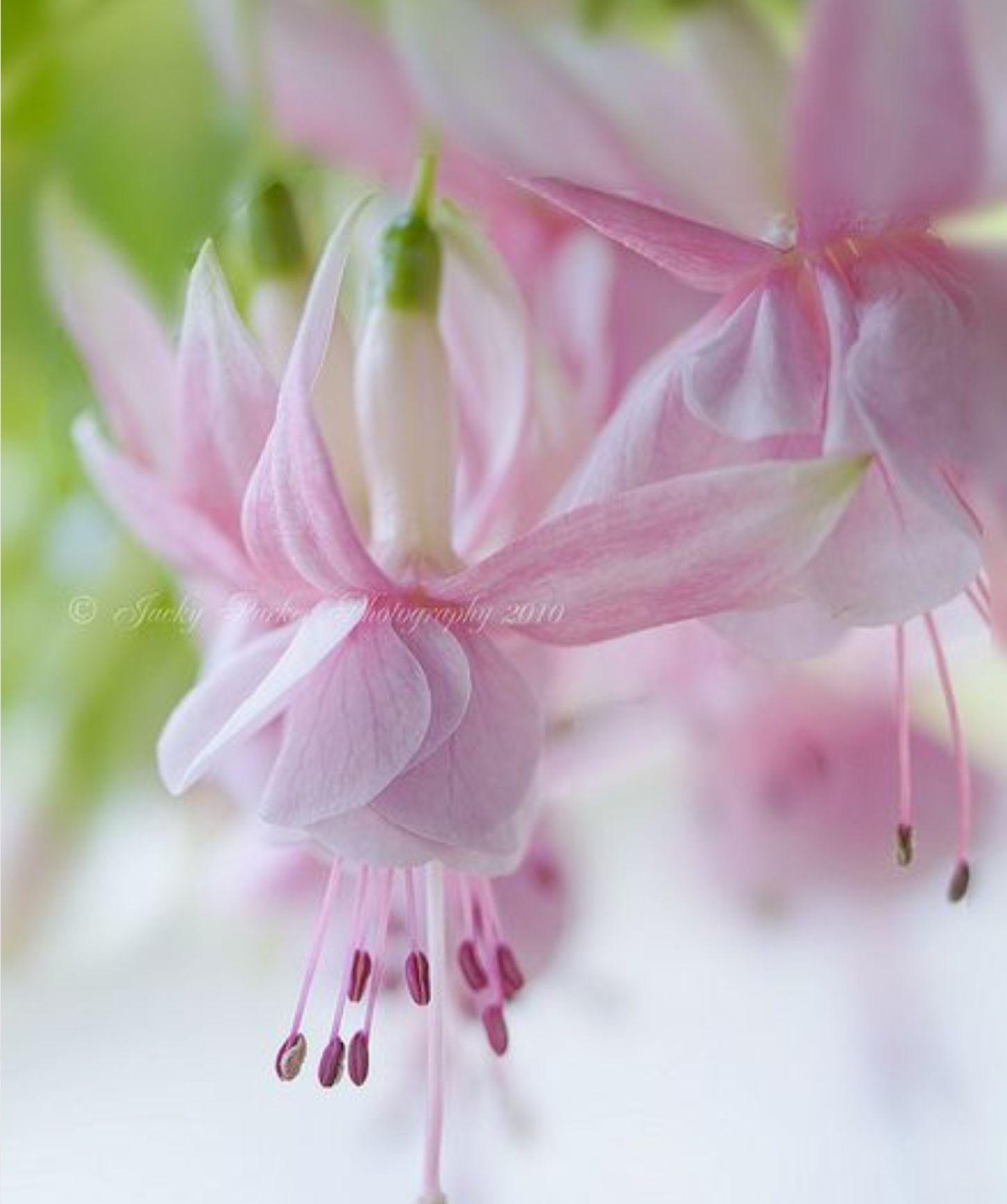 Delicate Pink Fuchsia Flowers Pink Pinterest Flower