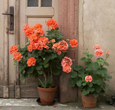 Geraniums by the door
