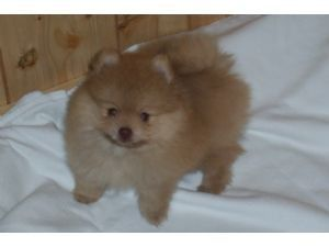 Pomeranian Puppies For Sale Pomeranian Puppy Pomeranian Puppy