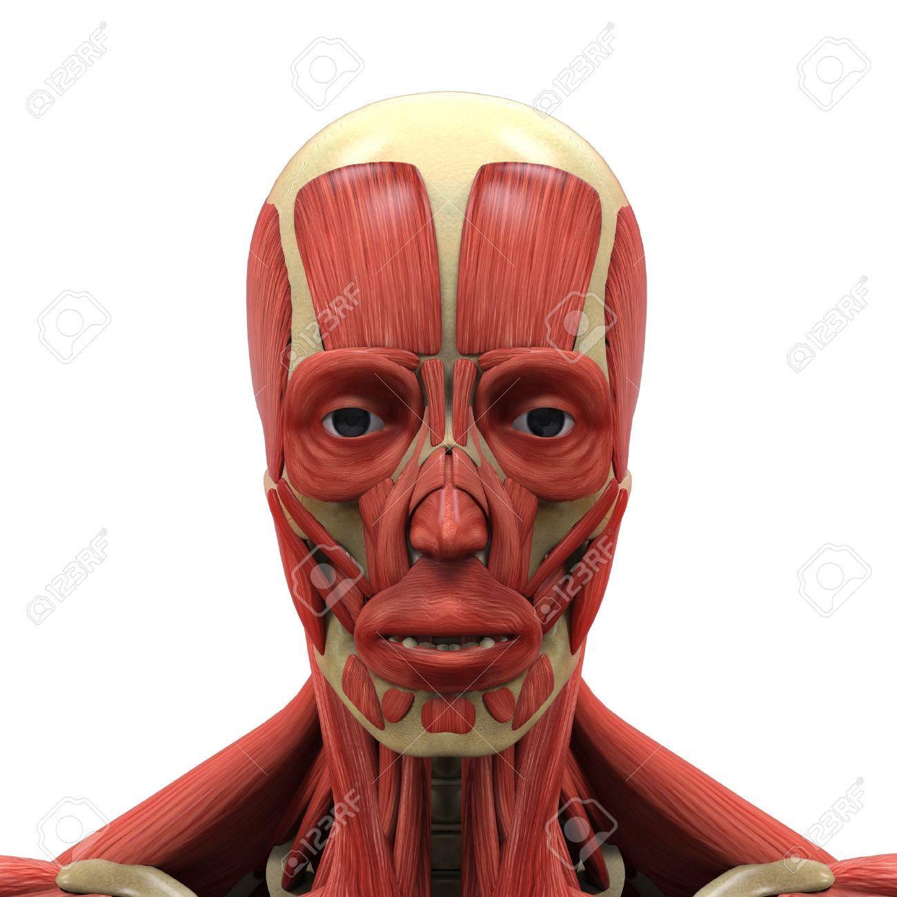 21459798-Human-Face-Anatomy-Stock-Photo-anatomy-muscle.jpg (1300 ...