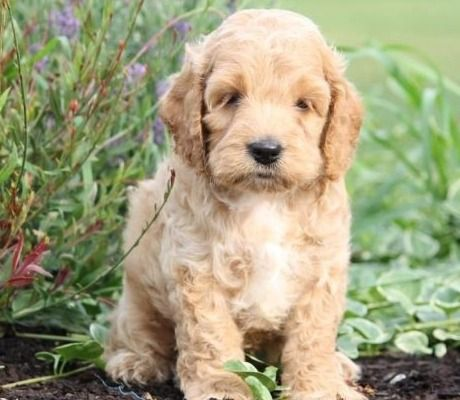 Best Online Shop Cockapoo Dog Breeder Near Me Best Mini Cockapoo