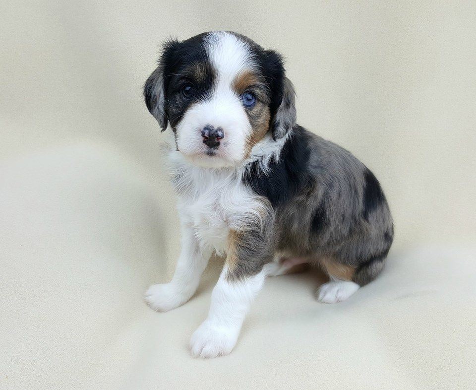 Aussalier Puppy Aussie Cavalier Mix Puppies Australian Shepherd