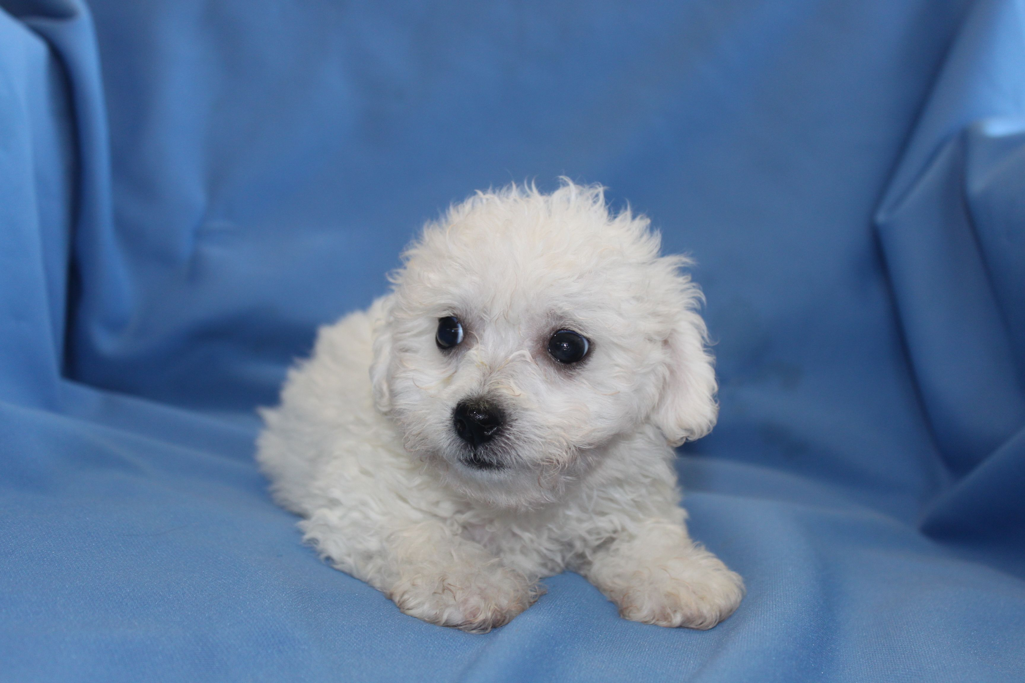 Bichon Frise puppies for sale at