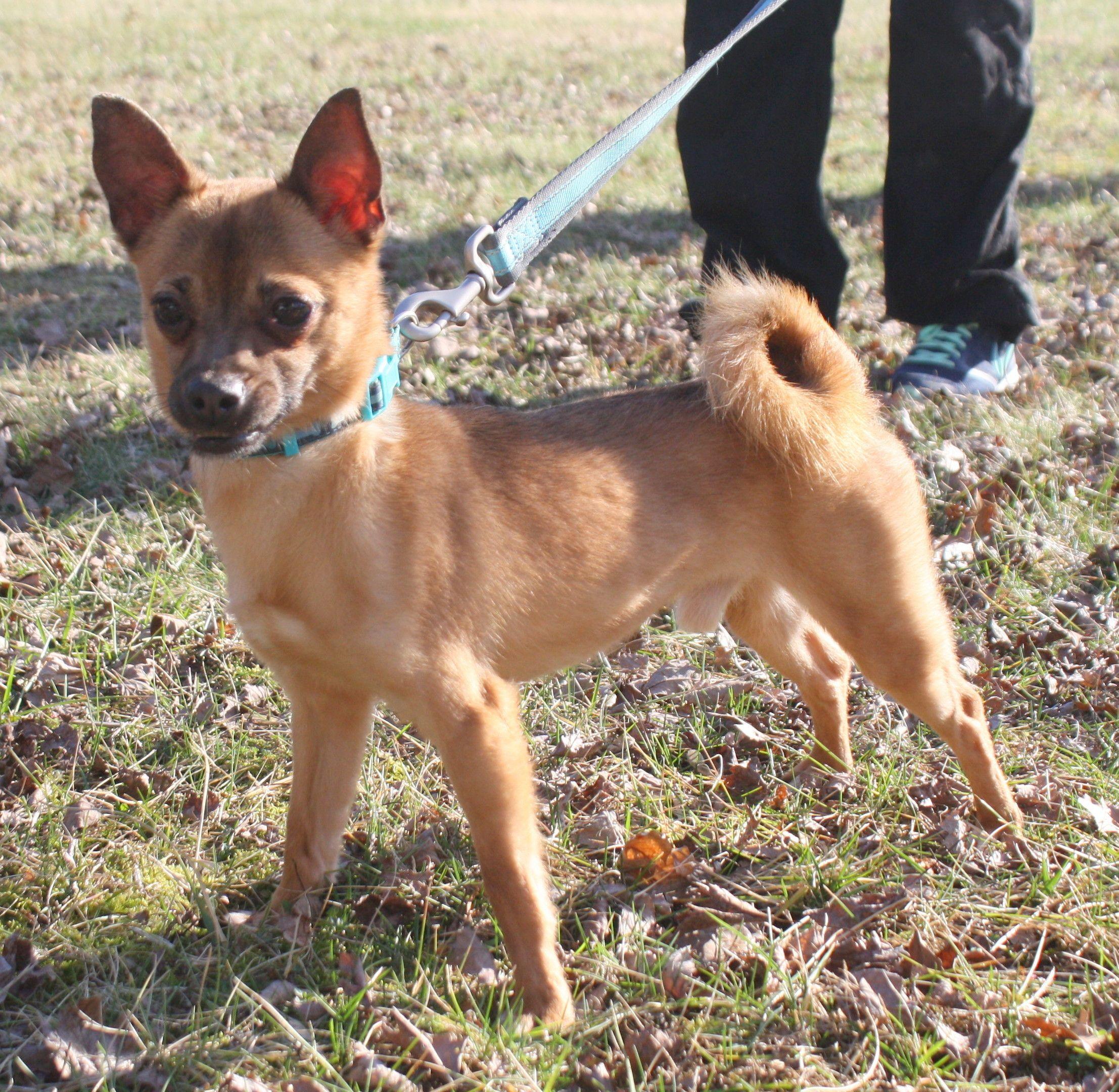 Adopt NJ Mutley on Dogs, Pomeranian chihuahua mix, Pets
