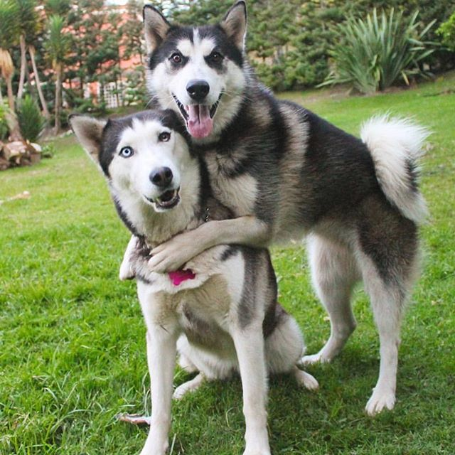 That One Over Affectionate Friend Siberian Husky Happy Dogs