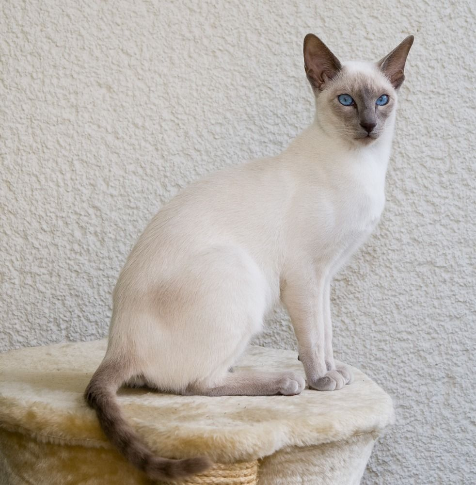 balinese cat | Cuteness | Pinterest | Balinese, Cat and Siamese