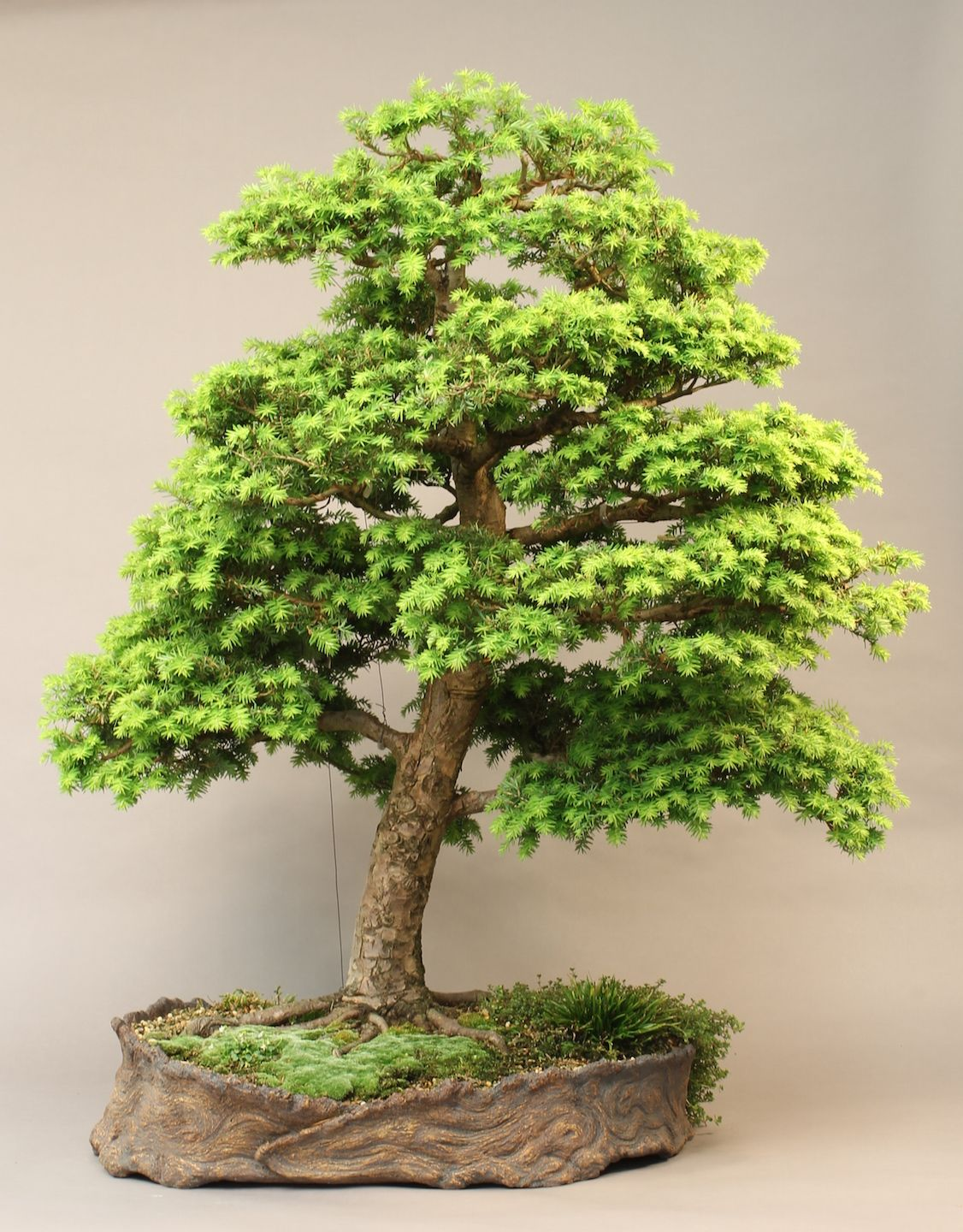 Tsuga Canadensis Eastern Hemlock Bonsai More Than 20 Years After Wild Collection By Abcarve On Bonsainut Forums He Says Regular Tree Seeds Canadensis Bonsai