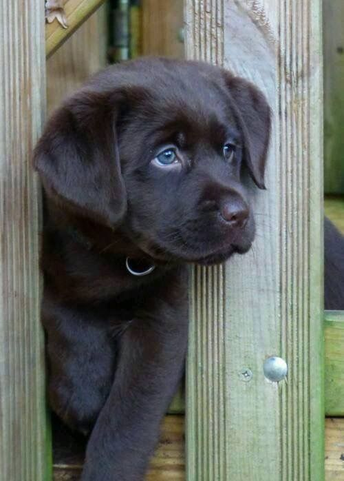 Gorgeous Labrador Pup With Blue Eyes Cute Animals Puppies