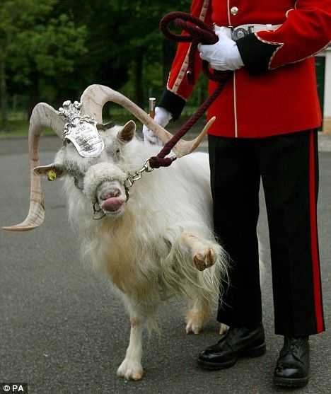 Billy the goat retires as Royal Welsh Regiment mascot... with full ...