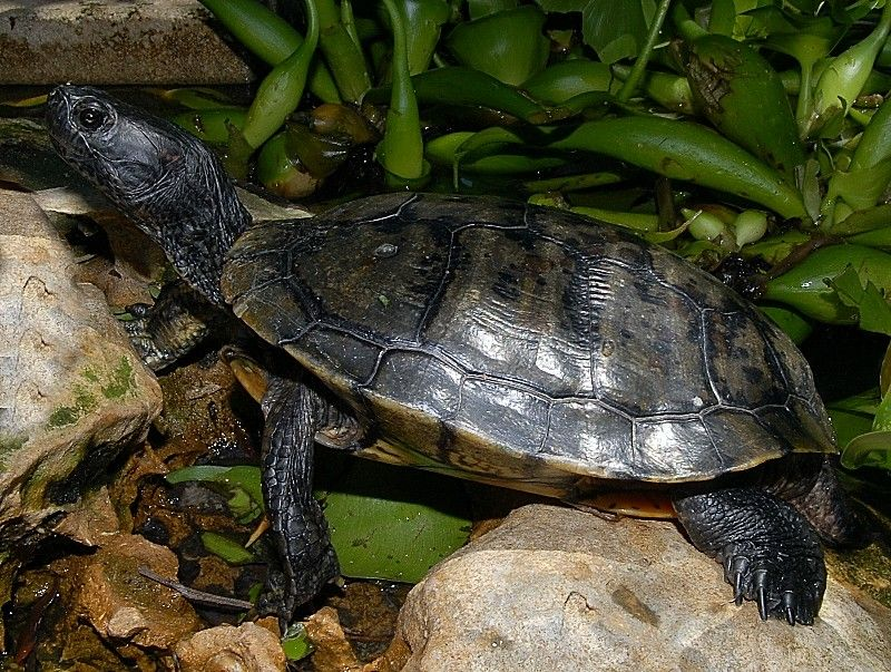 Melanistic Red Eared Slider (Adults) for sale from The