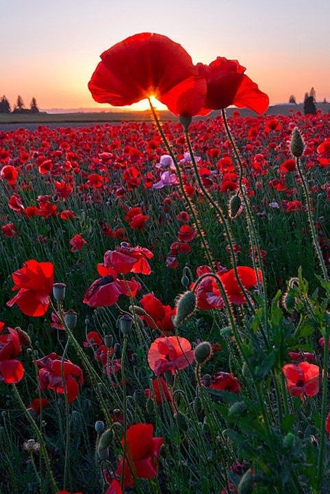 In Flanders Fields the poppies blow Between the crosses, row on row, That mark our place; and in the sky The larks, still bravely singing, fly Scarce heard amid the guns below. We are the dead. Short days ago We lived, felt dawn, saw sunset glow, Loved and were loved, and now we lie In Flanders Fields. Lieutenant Colonel John McCrae, MD via Summer is a Verb