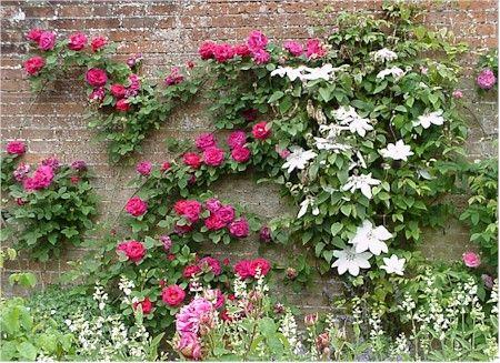 Wall of clematis and climbing roses | Garden | Climbing ...