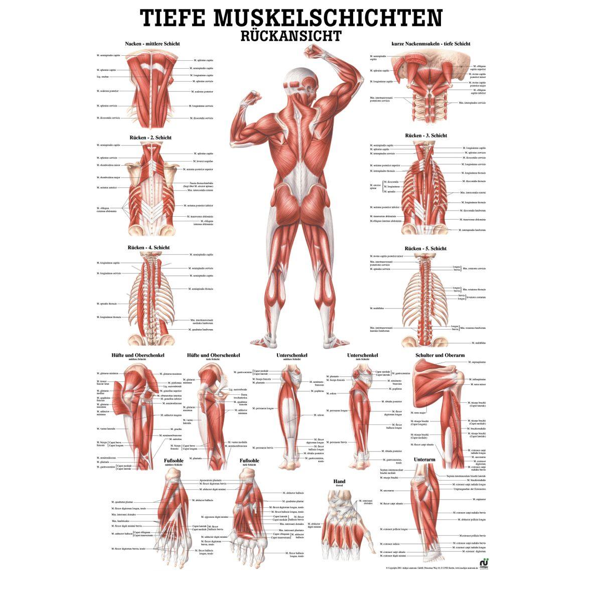 Anatomische Lehrtafel Tiefe Muskelschichten