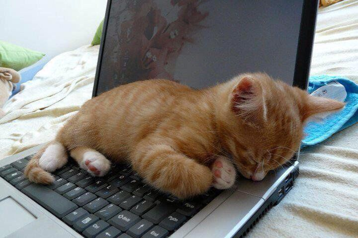 300 Cats on Laptops... ideas | cats, animals, crazy cats