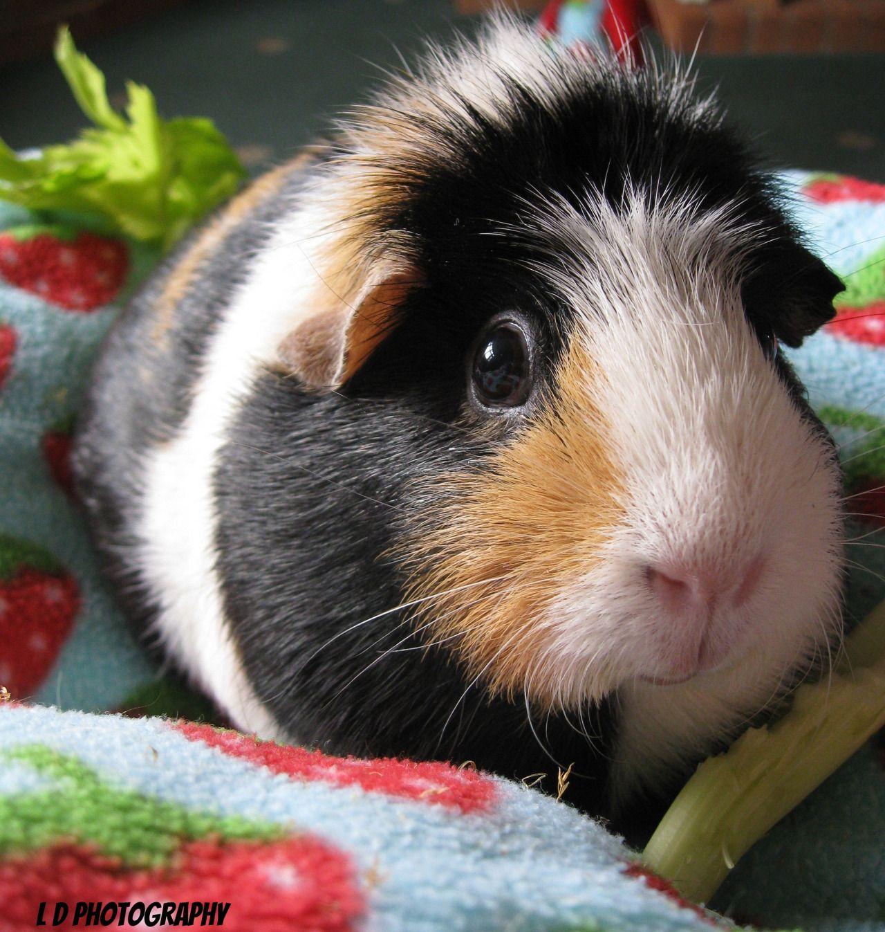 Pin On Guinea Pigs~For Kierra~
