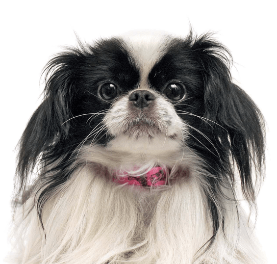 Shih Tzu Puppies for Sale Japanese chin