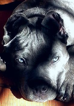 Pin By Mikala Garland On Furbabies Dog Breeds Corso Dog Cane