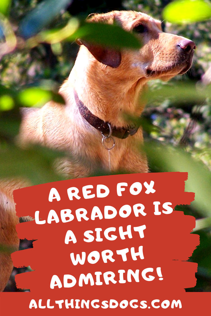 Fact The Fox Red Lab isn't an official Labrador color